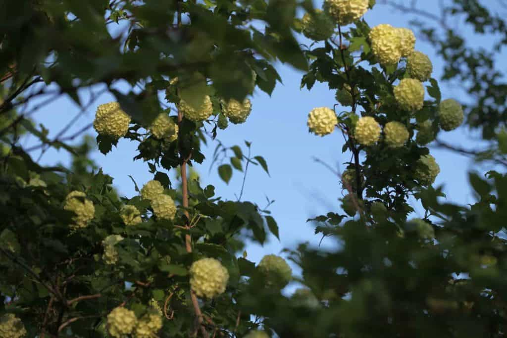 a viburnum snowball bush in bloom with large round white blooms growing up against a blue sky.