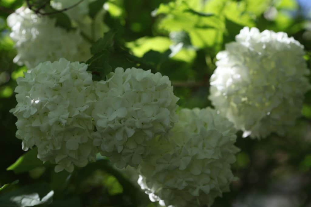 clusters of white snowball flowers on a snowball bush