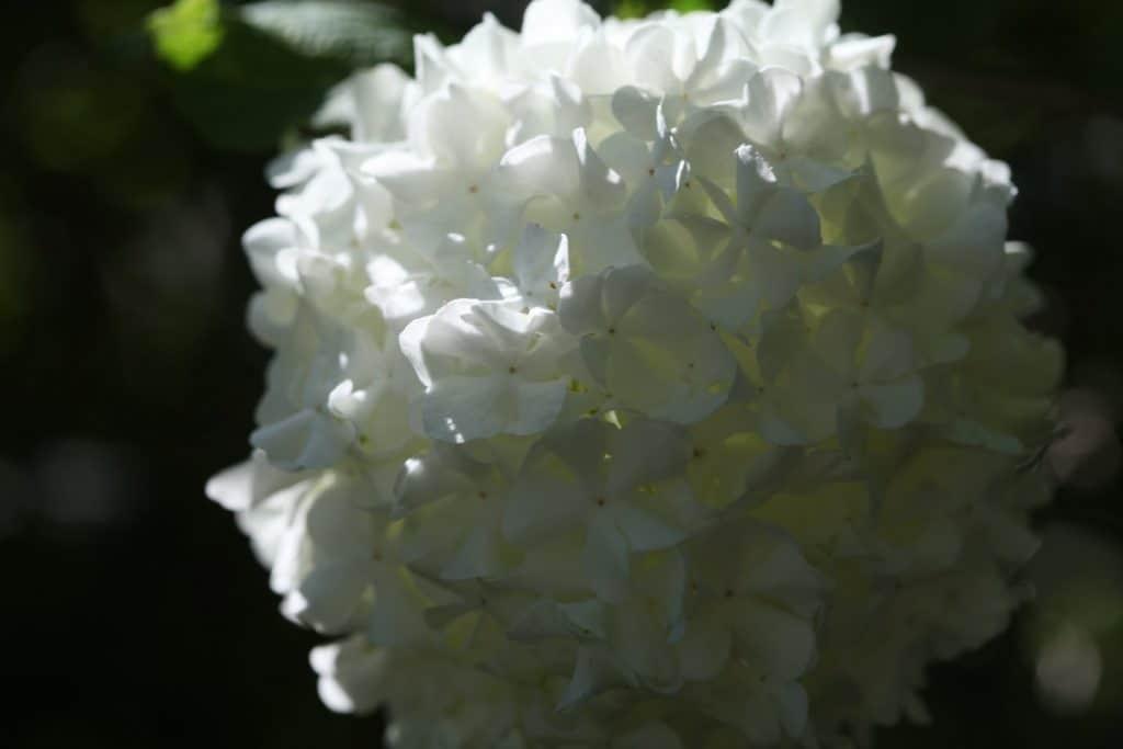 mature white bloom of - Viburnum  Opulus Roseum