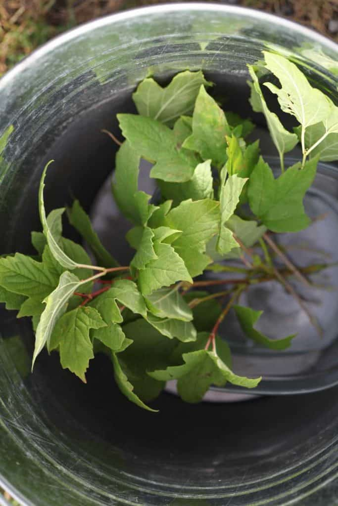 snowball cuttings in water in a metal pail
