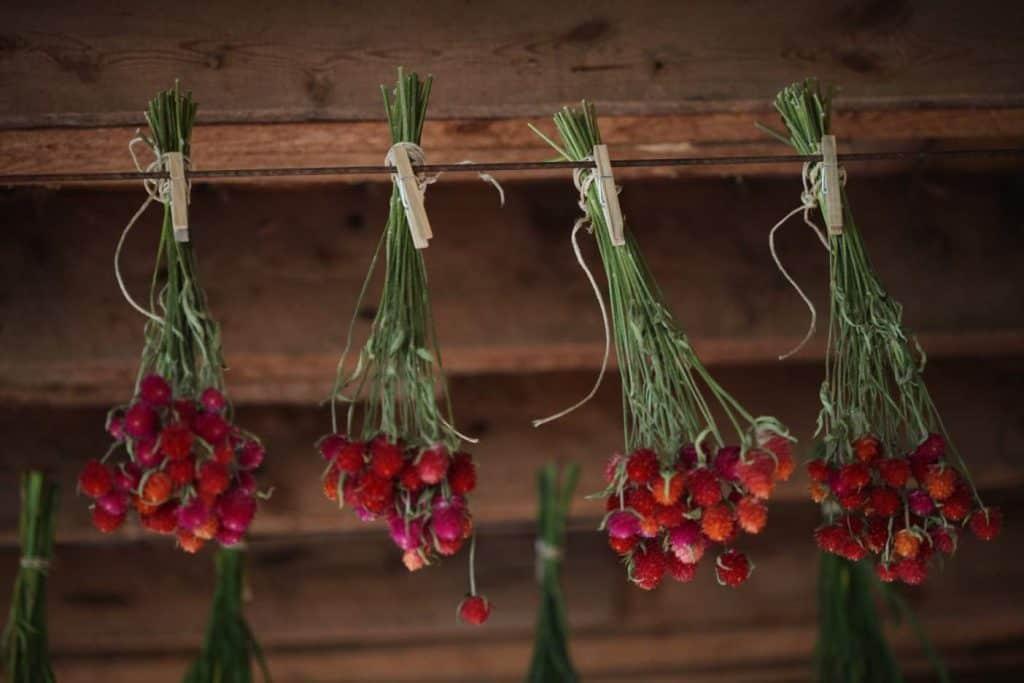 globe amaranth hanging to dry