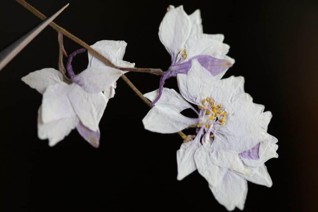 pressed Larkspur flowers