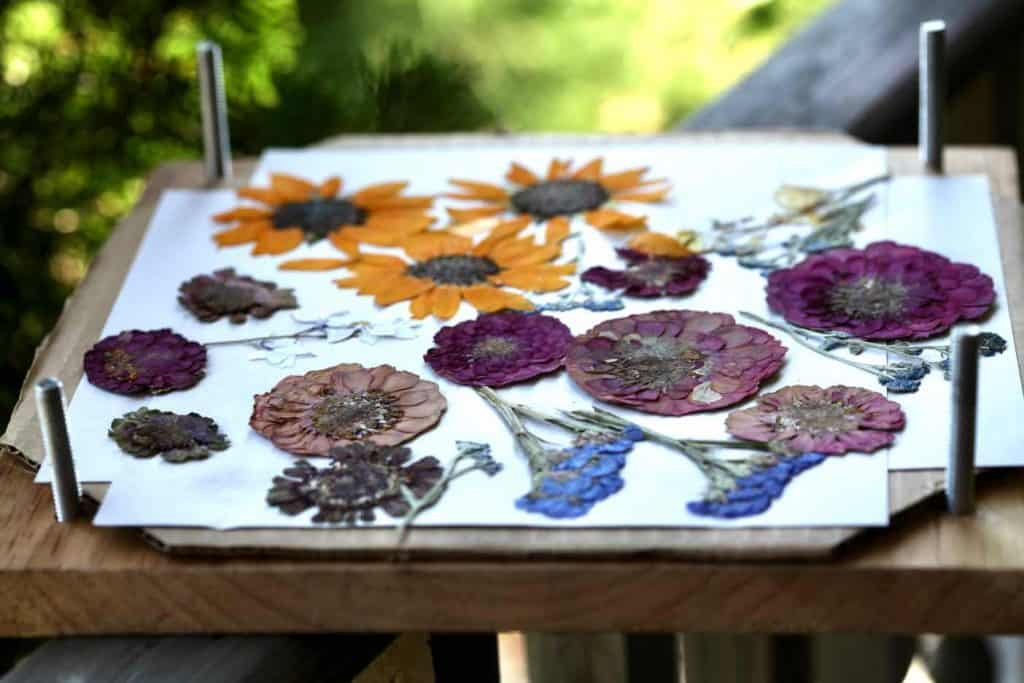colourful pressed flowers in a flower press