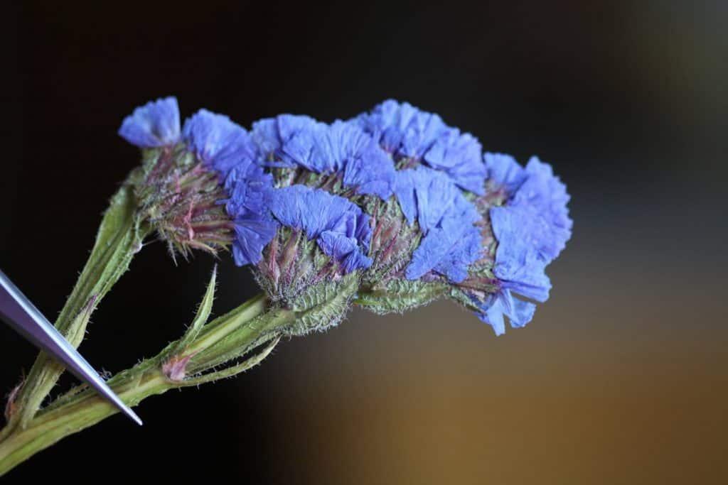 pressed statice flowers against a blurred dark background