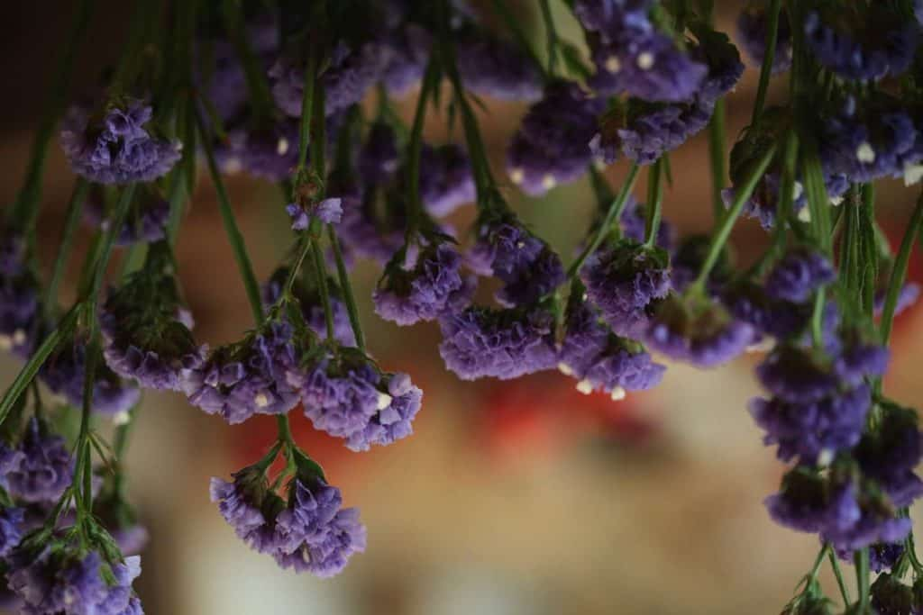 purple statice blooms being hung to dry