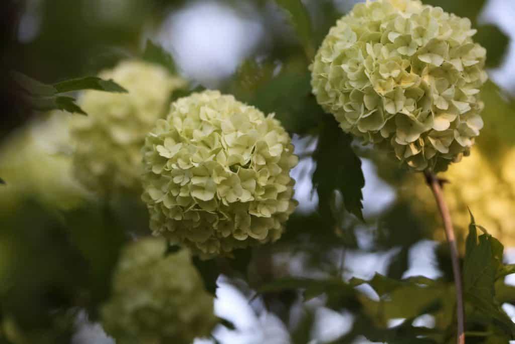 snowball bush with round white flowers