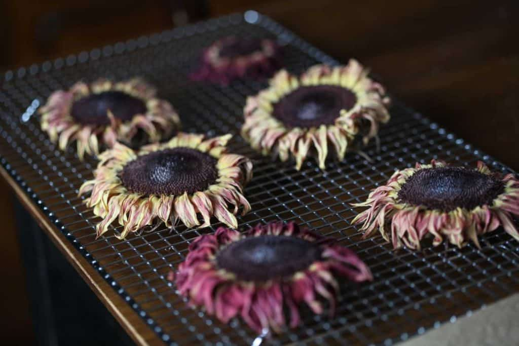 dried sunflowers on a metal rack