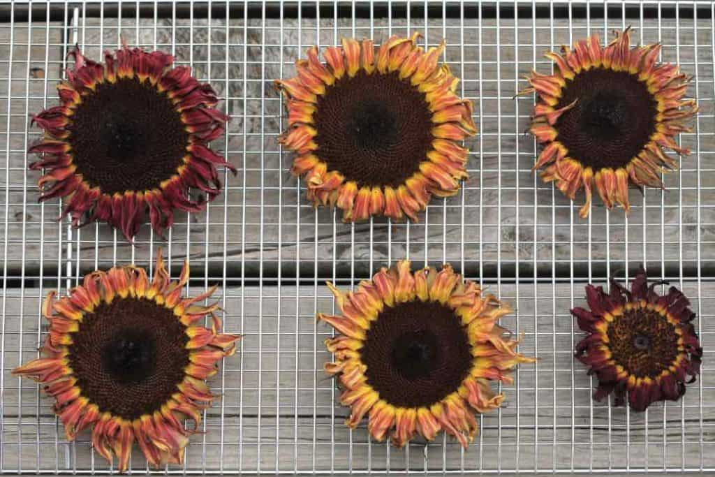sunflowers dried in the oven on a wire rack