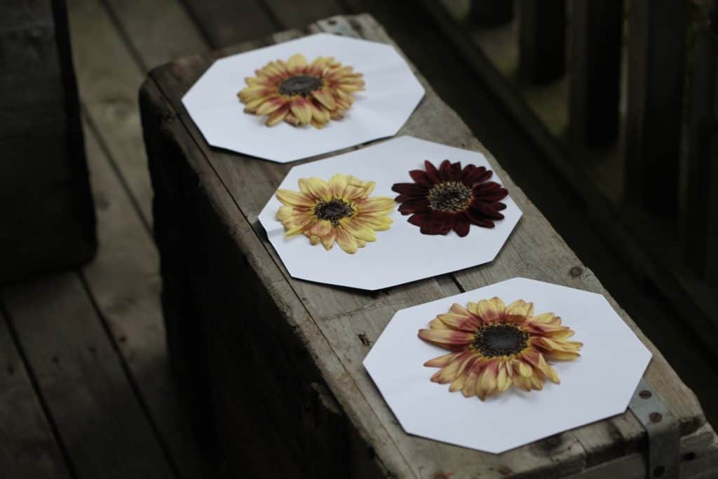 pressed sunflowers on white paper on a grey wooden box