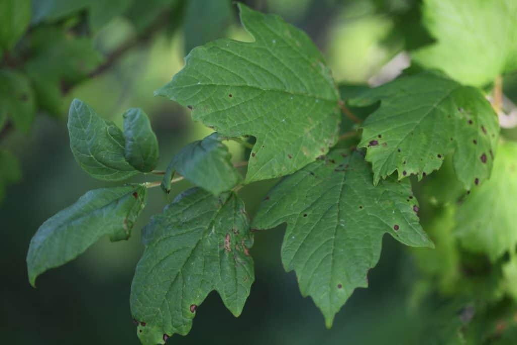 three lobed dark green leaves of Viburnum  Opulus Roseum